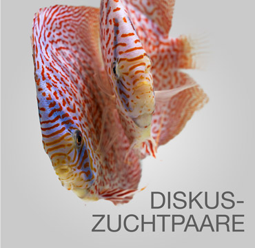 Diskusfisch-Zuchtpaare_EuropaDiscusCenter
