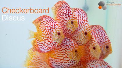 Checkerboard Diskusfische Fuetterung