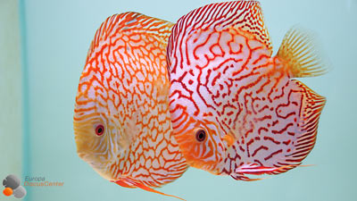Checkerboard Diskusfische für die Zucht