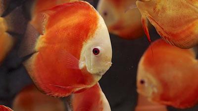 Red Melon Diskus-Aquarium