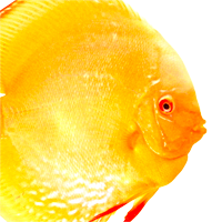 Albino Golden Diskus EuropaDiscusCenter