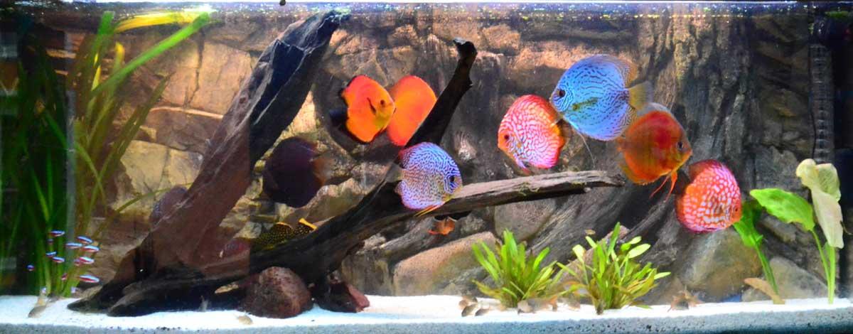 Alexander Paulus Diskusfische Aquarium