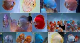 Bilder Diskusfische I
