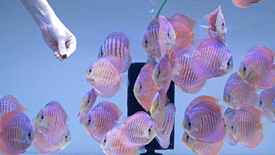 Diskusfische bei der Tubifex Fütterung