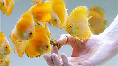 Gelbe Diskusfische Fütterung