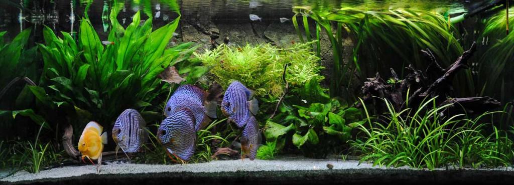 Diskus haltung diskusfische richtig halten europa for Diskus aquarium