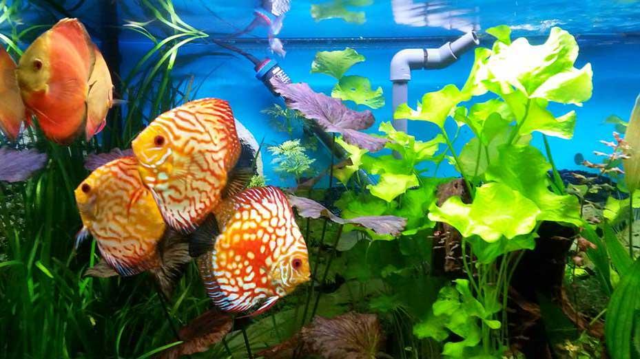 Stefan Gackenheimer Diskusfische Aquarium