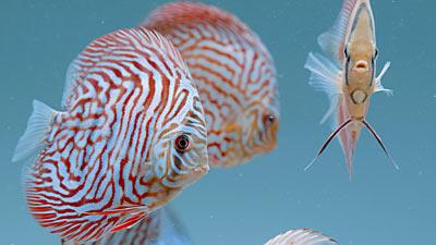 Tiger Türkis Diskusfische
