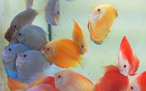 Diskusfisch Fütterung mit Artemia