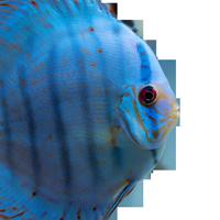 Kobalt Blau Diskusfisch EuropaDiscusCenter