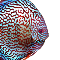 Checkerboard Turquoise Discus (Galaxy)