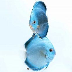 Blue Diamond Diskus-Zuchtpaar EuropaDiscusCenter
