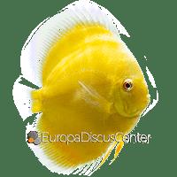Albino Golden Diskus