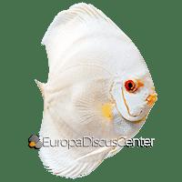Albino Platinum Diskus